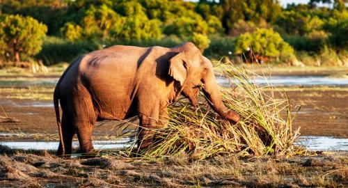 Sri Lanka : Eléphants