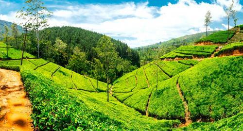 Sri Lanka : Plantations de thé