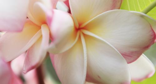 Bora Bora : Les fleurs