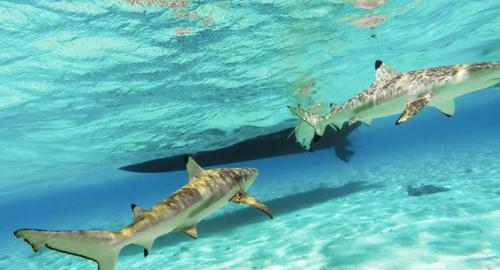 Huahine : La plongée